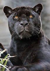 Das Gesicht eines schwarzen Panthers …   – Raubkatze