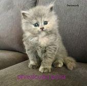 Pedigree Registered Selkirk Rex Kittens Selkirk Rex Kittens And Puppies Selkirk Rex Kittens