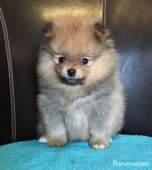 Pomeranian Puppy Clothes   – Pomeranian