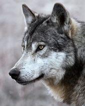 Ganz nah und persönlich mit einem wilden Wolf im Inneren von BC. Aus einer dieser Traumbegegnungen, die scheinbar ewig währt  – Tiere