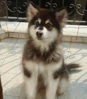 Alaskan Malamute puppy – Dogs <3