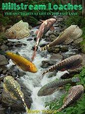 Very Nice Info On Hillstream Loaches Their Care Aquarium Fish Tropical Freshwater Fish Tropical Fish Aquarium