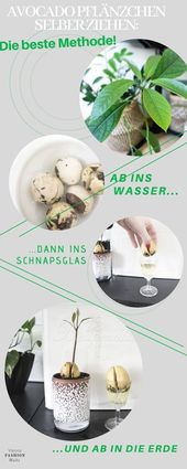 Avocado Pflänzchen ziehen – Mit dieser Methode gelingt es sicher