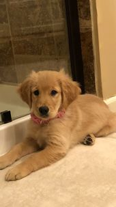 Golden Retriever Puppy For Sale In Leawood Ks Adn 58643 On