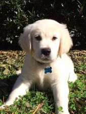 All the things I admire about the Friendly Golden Retriever Puppy #goldenretriev…   – Pets Pics
