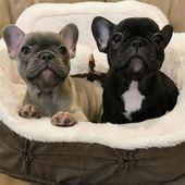 Todo sobre los cachorros Frenchie adaptables #frenchbulldogs # frenchbulldogs0 …   – Süße Bilder