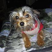Toledo Ohio Yorkie Yorkshire Terrier Meet Lewey A For Adoption Https Www Adoptapet Com Pet 27604102 In 2020 With Images Yorkshire Terrier Yorkie Yorkshire Terrier Yorkie