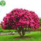 Riesen Rosa Sakura Samen Bonsai Schöne Blüte Baum Kirsche Mehrjährige 10 Stüc …   – Plants & Seeds