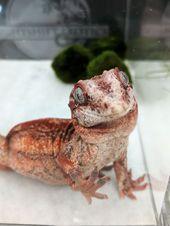 Crimson gargoyle gecko by Nightshift Exotics @ the Wasatch Reptile Expo