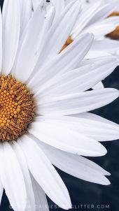Blumen Margarite Wallpaper für Handy