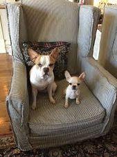 Cane Corso Puppy For Sale In Kent Wa Adn 45191 On Puppyfinder