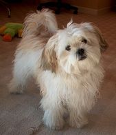 These Maltese Shih Tzu Mixes Just Make Me Happy This Should Look Close To What My Puppy Will Be The Mom Just Maltese Shih Tzu Shih Tzu Dog Havanese Puppies