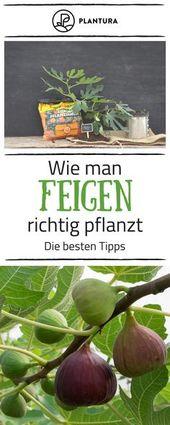 Feigenbaum: Experten-Tipps vom Kaufen bis zum Pflegen