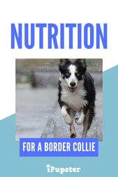 Best 4 Dry And Wet Dog Foods For High Energy Border Collies Wet