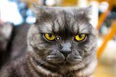 Riesige Ragdoll-Katze. Der sanfte Riese der Hauskatzen. #videos #tier #cutecat # …