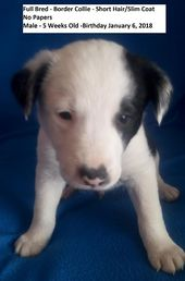 Litter of 5 Border Collie puppies for sale in VERNAL, UT. ADN-65195 on PuppyFind…  – Puppies for Sale