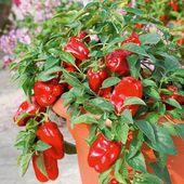 Züchte die produktivsten und gesündesten Paprikaschoten mit Bittersalz   – Garden