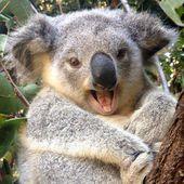 Frühstück mit Koalas und anderen Kuscheltieren