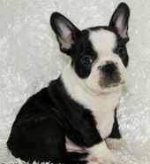 Black And White French Bulldog Puppies For Sale Zoe Fans Blog French Bulldog Puppy Black French Bulldog Puppies