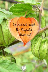 Physalis: Die gesunde Frucht anbauen, pflegen & überwintern