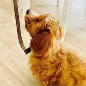 puppy training time 💛  #cockapoo #louisvuitton #puppy #puppylove #cockapoo   …  – Cute Puppies