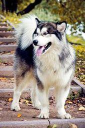 Alaskan Husky Alaskan Malamute Dog – If you are considering having cute white ca…  – Husky