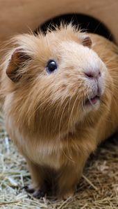 Diferentes mascotas que son roedores y todo lo relacionado con ellas. Roedores Roedores …   – animals