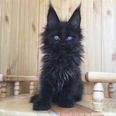 What a beautiful black kitty with really impressive long ears! #BlackCat