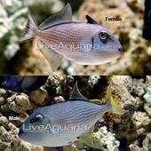 Blue Throat Triggerfish With Images Aquarium Fish Saltwater Aquarium Fish Mandarin Fish