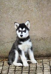 Puppy; 12 weeks (Explored)   – Husky & Malamute