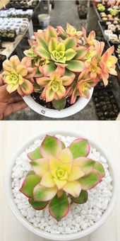 Poppin Pastels Succulents  100 Seeds
