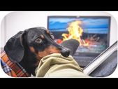 Quarantine Camping! Cute & funny dachshund dog video!