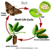 Animal Life Cycle Diagram Science Posters For Kids Belarabyapps Moth Life Cycle Life Cycles Animal Life Cycles