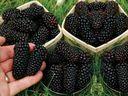 Jezyna Bezkolcowa Navaho Mega Owoce Kat 407c 7512308521 Oficjalne Archiwum Allegro Fruit Blackberry Navajo