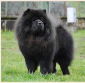 Chow Chow Ch Lovelace Of The Red Strain I Love Chow Chow S