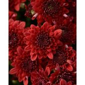 Recently Added Plants Garden Flowers Garden Center The Home Depot In 2020 Chrysanthemum Plant Red Chrysanthemums Flowers Perennials