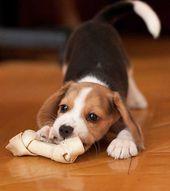 I Got Me A Big Bone Now Lets Play Keep Away Cute Beagles