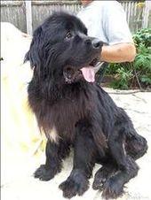 Freddy Is An Adoptable Newfoundland Dog Dog In Chicago Heights Il Hi I M Freddy And I M Available For Adoption Thr Newfoundland Dog Black Dog Humane Society