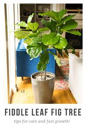 How to care for a Fiddle Leaf Fig Tree – indoor-trees
