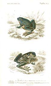 Reptiles, anfibios y animales exoticos – Tuatera Blog: GALERÍA de grabados e il… – Frog illustrations