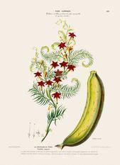 Bananen Plakat Bananen Pflanzen Botanische Bananen Illustration Bananen Frucht Druck Flore D Amerique Fda169 B