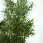 Fresh Rosemary Plant Kitchen Gardening Indian Spices Herbs Rosemary Plant