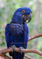 Papagei Fotografie Print, Ara Foto, Vogelfotografie, tropischer Vogel, bunte Vogel Print, Tiki Bar Dekor, tropische Dekor