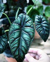 Alocasia dragon scale  – houseplants