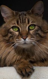 The Maine Coon cat is one of the largest domestic cat breeds. Big-boned and soli… – Cat Breeds