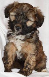 Oregon Dog Rescue Tibetan Terrier Tibetan Terrier Tibetan Terrier Rescue Terrier Rescue