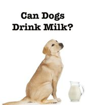 Can Dogs Drink Milk What Milk Alternatives Are Safe For Dogs Drink Milk Dog Milk Cat Drinking