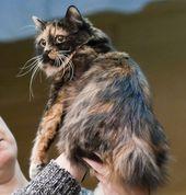10 Short Tail Cat Breeds Around The World – Manx