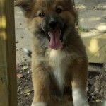 happy German shepherd x collie puppy   – Animals