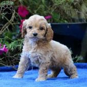 Julie – Cockapoo Puppy For Sale in Pennsylvania  – Christmas list for kids